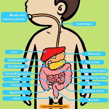 20130117185921-digestive-system-1.jpg