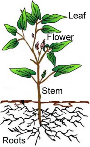 20140226092216-plant-organs-copy.jpg