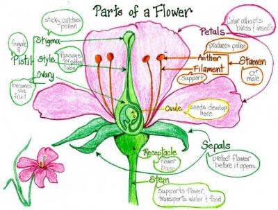 20140226121829-parts-of-a-flower-with-colours.jpg